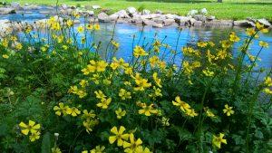 Keltaisia kukkia puron laidalla.
